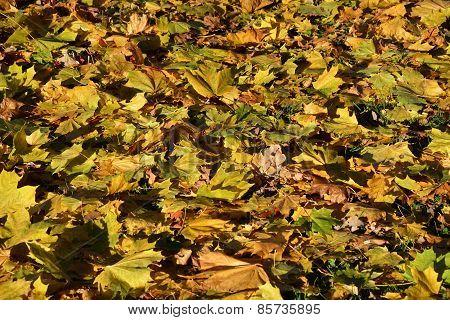 Sunny Maple Leaves. Autumn Season. Background