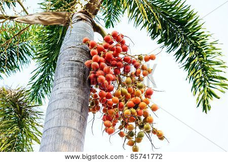 Cyrtostachys Renda (sealing Wax Palm, Lipstick Palm, Raja Palm, Maharajah Palm) , Ornamental Plant I