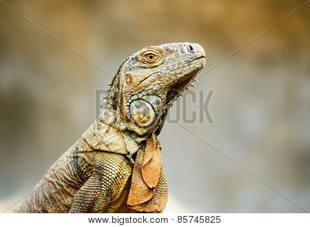 Close-up View Of Iguana On The Tree.