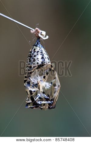butterfly capsule