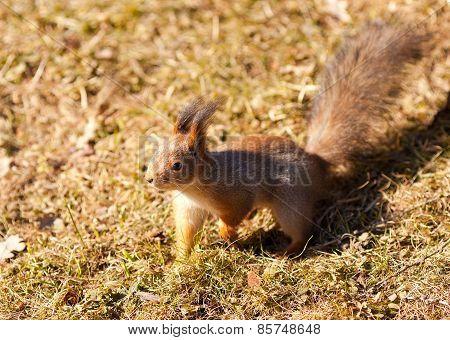 Red Squirrel On Grass Background