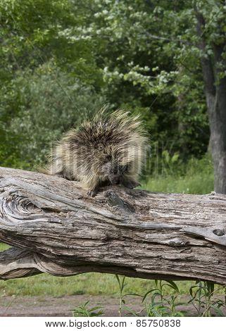 Porcupine Walking on a Log