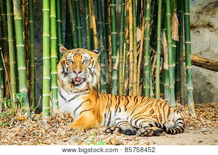 Tiger Lying In Bamboo Forest, Chiang Mai, Thailand.