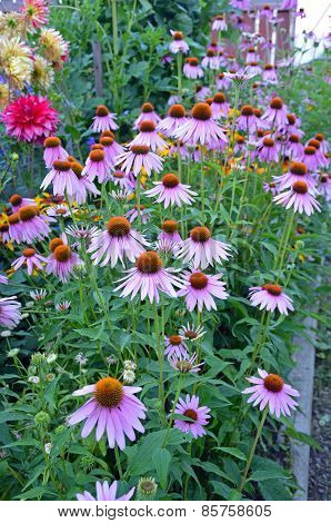 Purple Echinacea Flower Garden