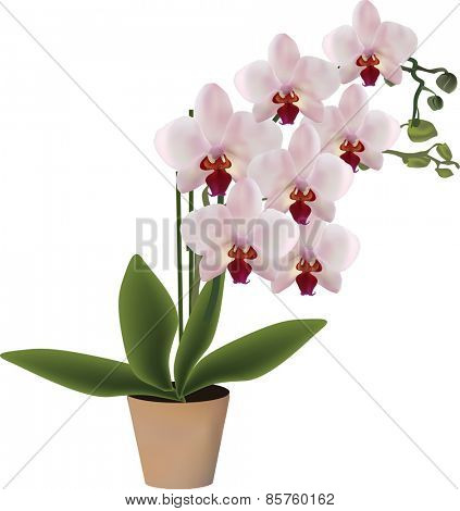 illustration with pink orchid in pot isolated on white background