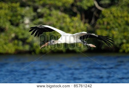 Wood Stork Flying Low Above Water