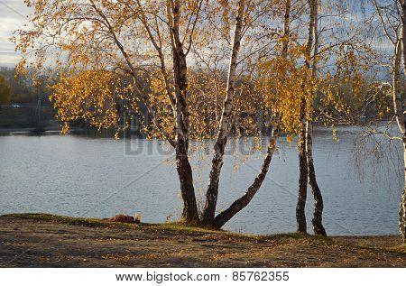 Sunny autumn landscape. Birches on the Bay coast