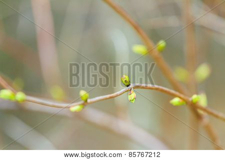 Opening buds in early spring season on branch