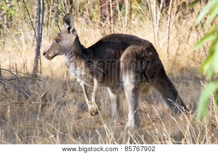 Kangaroo in the wild.