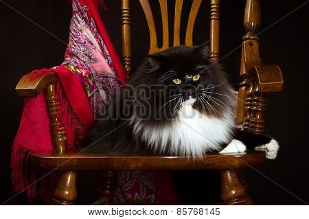 Black purebred Siberian cat lying on a chair