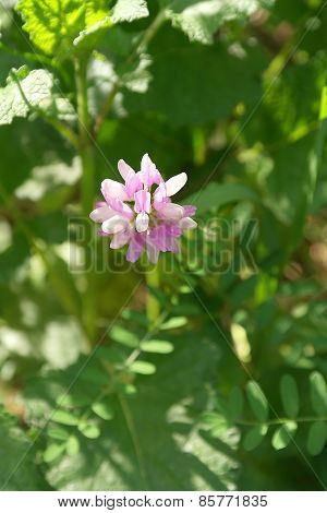 Wild Pink And White Flower