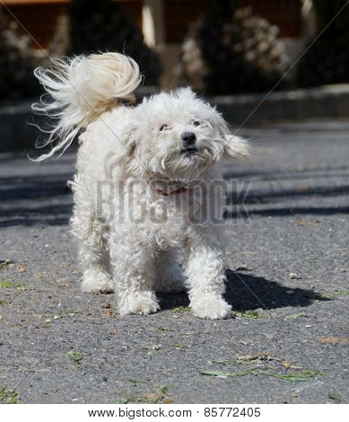 An enthusiastic bichon frise dog