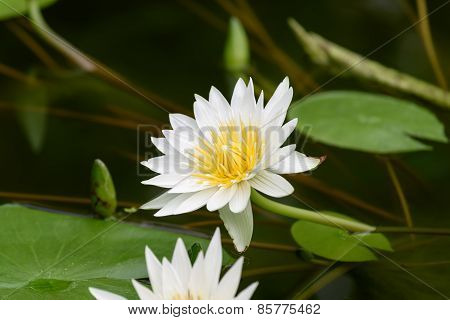 White Nymphaea Flower