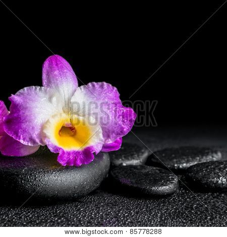 Spa Concept Of Purple Orchid Dendrobium With Drops On Black Zen Stones, Closeup