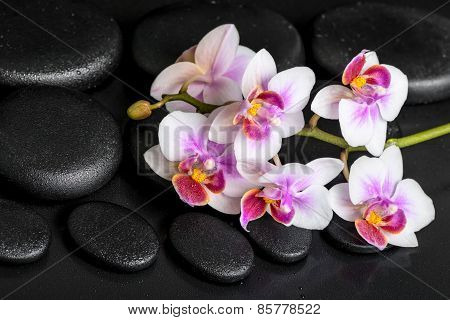 Beautiful Spa Still Life Of Purple Orchid Phalaenopsis On Black Zen Stones With Drops, Closeup