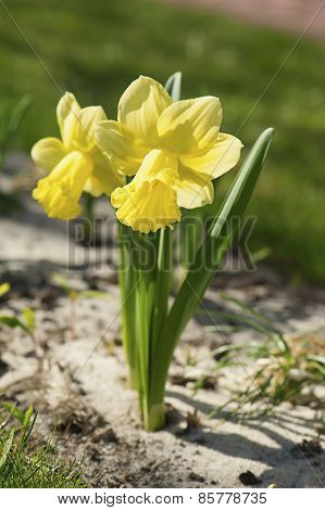 Beautiful yellow daffodils