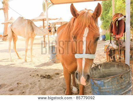 Horse And Camel