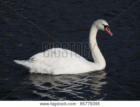 white queen of birds