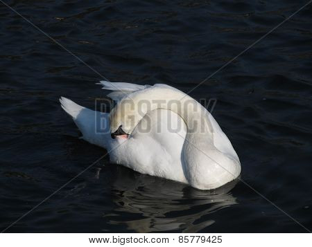 swan cleaning itself
