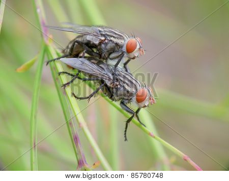Domestic Fly Mating