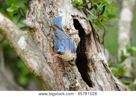 Velvet-fronted Nuthatch (sitta Frontalis)