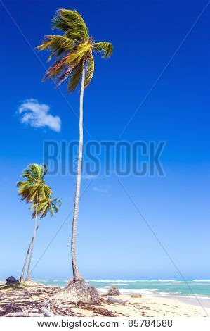 Palm Trees In Dominican Republic