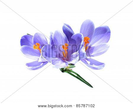 Small Bouquet Of Three Lilac Crocuses