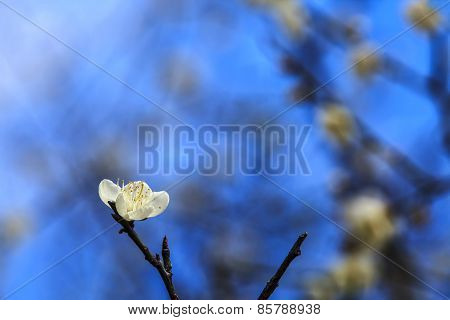 Plum Blossom Under The Clear Sky
