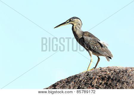 Bittern sitting on a rock.