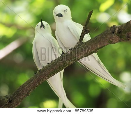 Pair of white terns sitting on a branch.