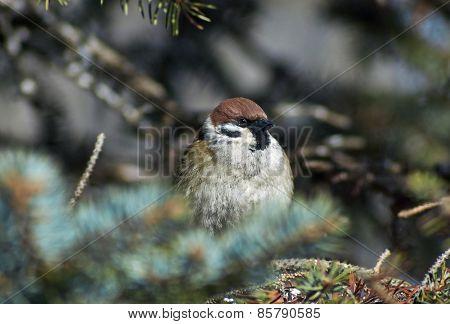 Sparrow - A Regular Inhabitant Of The  Parks.
