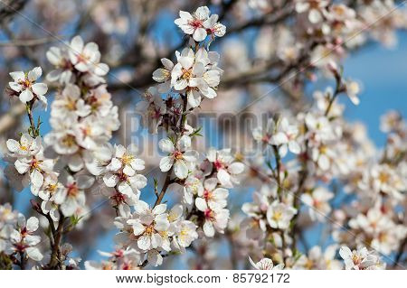 Blossoming  trees in spring time natural floral seasonal background