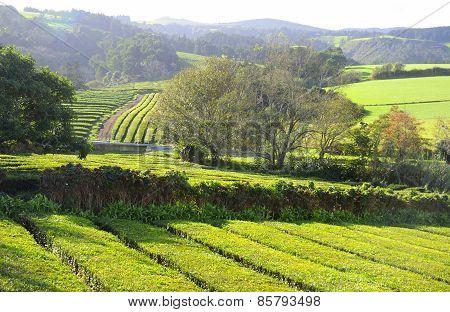 Tea Plantation in Azores.
