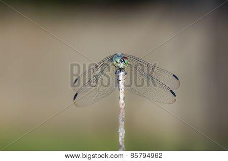 Brazilian Dragonfly