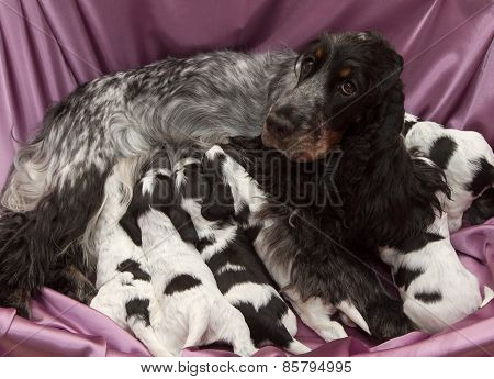 English Cocker Spaniel Puppies Nursing.