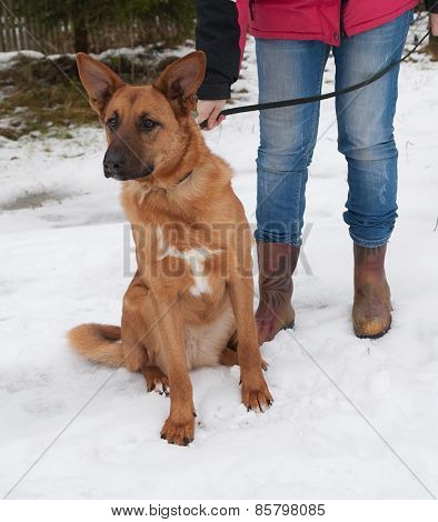 Red Dog Sitting In Snow On Background Trees