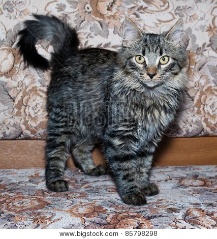 Striped Fluffy Siberian Kitten Standing On Couch