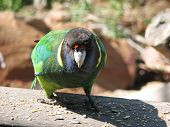 foto of ringneck  - ring neck parrot - JPG