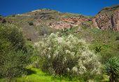 image of bridal veil  - Gran Canaria Caldera de Bandama flowering Retama rhodorhizoides - JPG