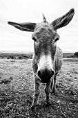 stock photo of wild donkey  - full body photo of a donkey standing facing the camera with his ears wide apart in black and white - JPG