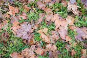 image of early spring  - New fresh green grass growing at the beginning of the spring between the brown tree leaves that have fallen in the autumn season - JPG