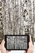 stock photo of birchwood  - travel concept - tourist takes picture of snow covered branch and birch woods in winter on smartphone