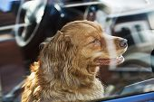 picture of shepherds  - Portrait of australian shepherd dog locked in car - JPG