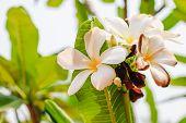 picture of plumeria flower  - Beautiful white flowers of Plumeria  - JPG