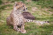 pic of west midlands  - Cheetah at West midlands safari park in the uk - JPG