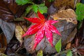 image of canada maple leaf  - Red Maple Leaf in the dry tree leaf - JPG