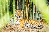 stock photo of tigress  - Tiger lying in bamboo forest chiang mai Thailand - JPG