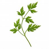 stock photo of cilantro  - Parsley cilantro coriander plant useful as a spice isolated over white - JPG