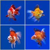 picture of goldfish  - collection of beautiful goldfish in fish tank - JPG