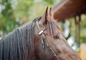 picture of bridle  - Brown horse in a bridle close up shot - JPG